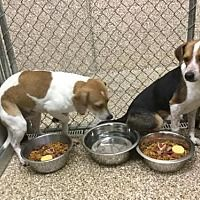 MARTINSBURG, WV - YODA and RAVEN are BONDED BEAGLES for adoption who needs a loving home.