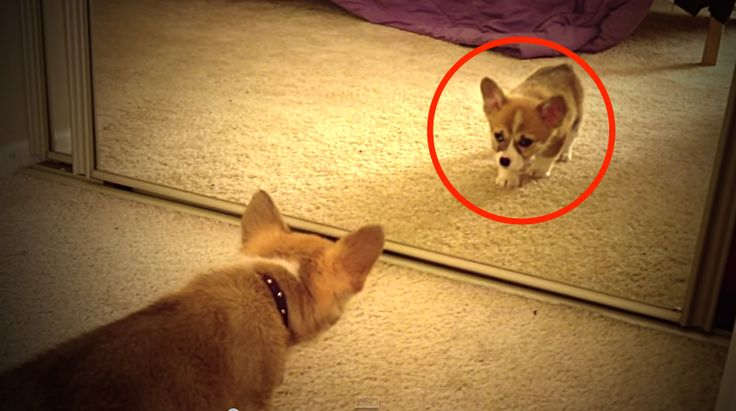 Ilyen cukiság nincs is! Mi történt, amikor a kutyus először látta magát a tükörben?!
