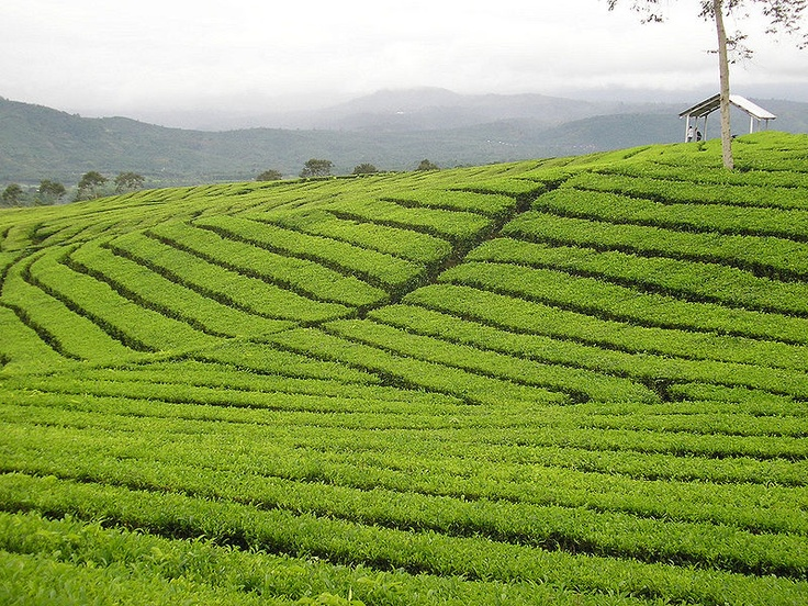 Mount Dempo tea plantation, Sumatra, Indonesia