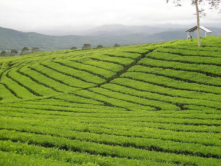 Mount Dempo tea plantation, Sumatra, Indonesia