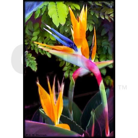 17 Best images about Bird of Paradise on Pinterest | Suzhou, Bird ...