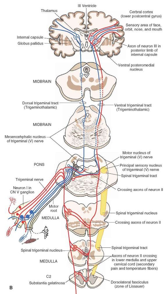 The Cranial Nerves (Organization of the Central Nervous System) Part 3 | Nervous system parts, Human anatomy, physiology, Brain anatomy