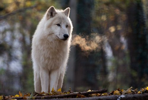 WOLVES, Arctic wolf (Canis lupus arctos) by Thomas Krüger