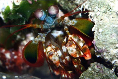 Die einzigartige Welt der Fangschreckenkrebse.....