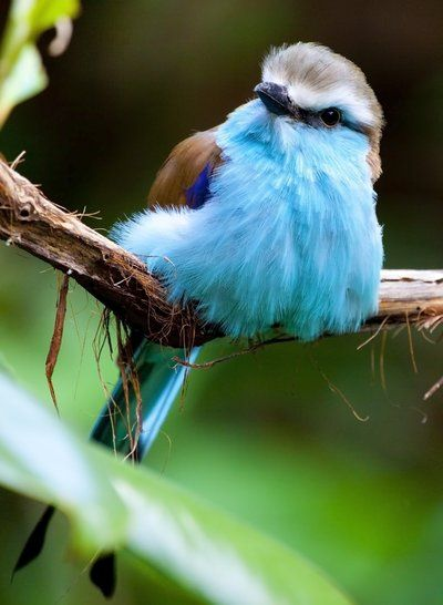 The fluffiest Racket-Tailed Roller. I can't even....