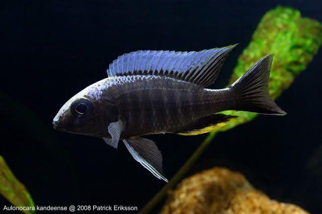 Image Result For Freshwater Aquarium Fish