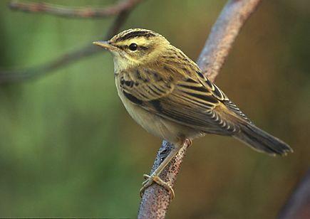 Sedge warbler - Wikiwand