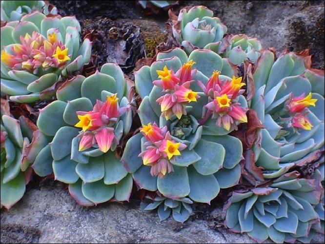 Resultado de imagem para Echeverrias em flor