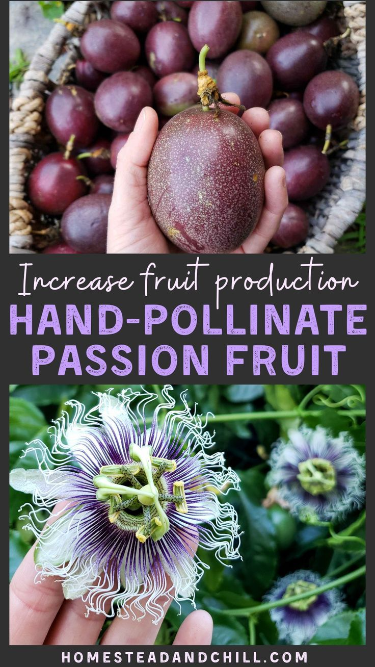 How To Hand Pollinate Passion Fruit Flowers Homestead And Chill Passion Fruit Plant Growing Passion Fruit Fruit Flowers