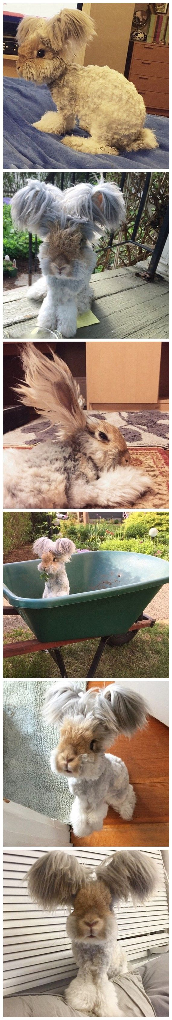 This is Angola rabbit named Wally from Massachusetts of USA has a really big ears. It looks like waving the wings when it is running.