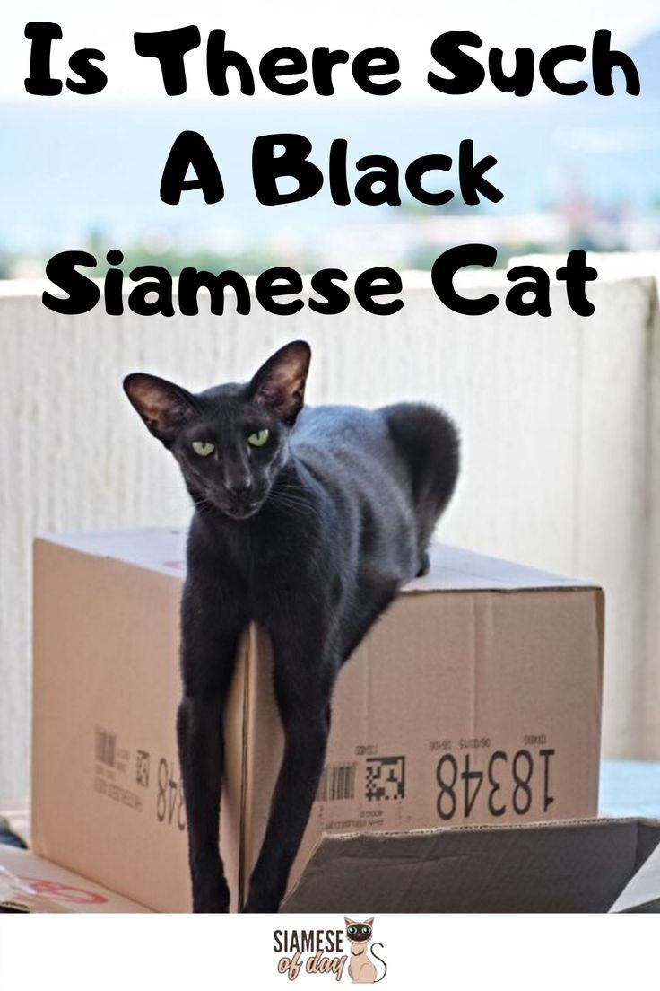 Black Siamese Cat Is There Such A Breed Siameseofday In 2020 Black Siamese Cat Siamese Cats Cats
