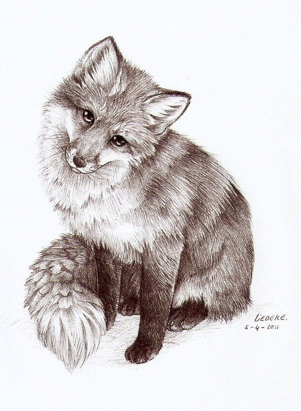 Black White Drawing Of Young Fox Animal Sketches Fox