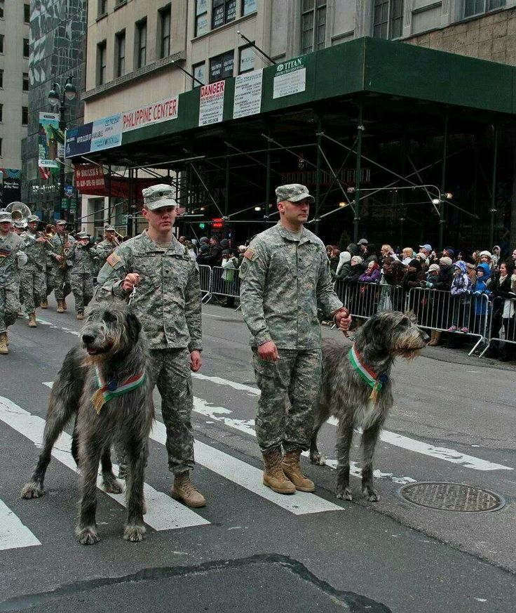 The Irish Wolfhounds of the Fighting 69th, on show at St. Patrick's Day Parade in NYC.