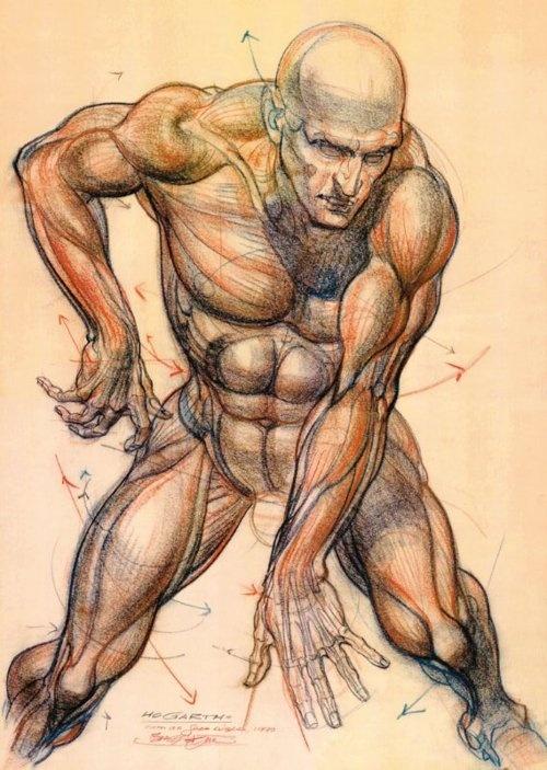 Burne Hogarth -Anatomy Studies