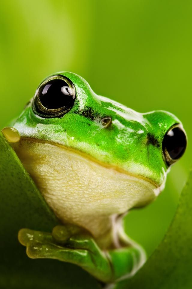 To see a frog in your dream represents a potential for change or the unexpected. The frog may be a prince in disguise and thus signify transformation, renewal or rebirth. Alternatively, the frog symbolizes uncleanness or fertility.