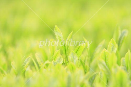 茶葉-写真素材