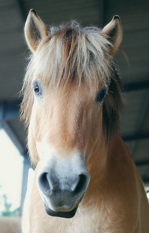 1000 images about norwegian fjord on pinterest ponies