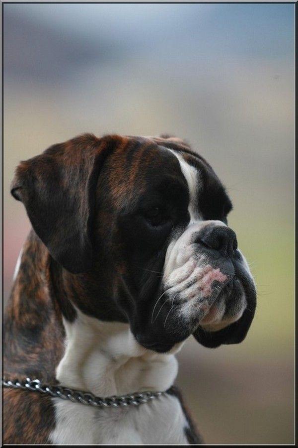 Les 25 meilleures id es de la cat gorie boxer chien sur for Boxer jardin de passiflore