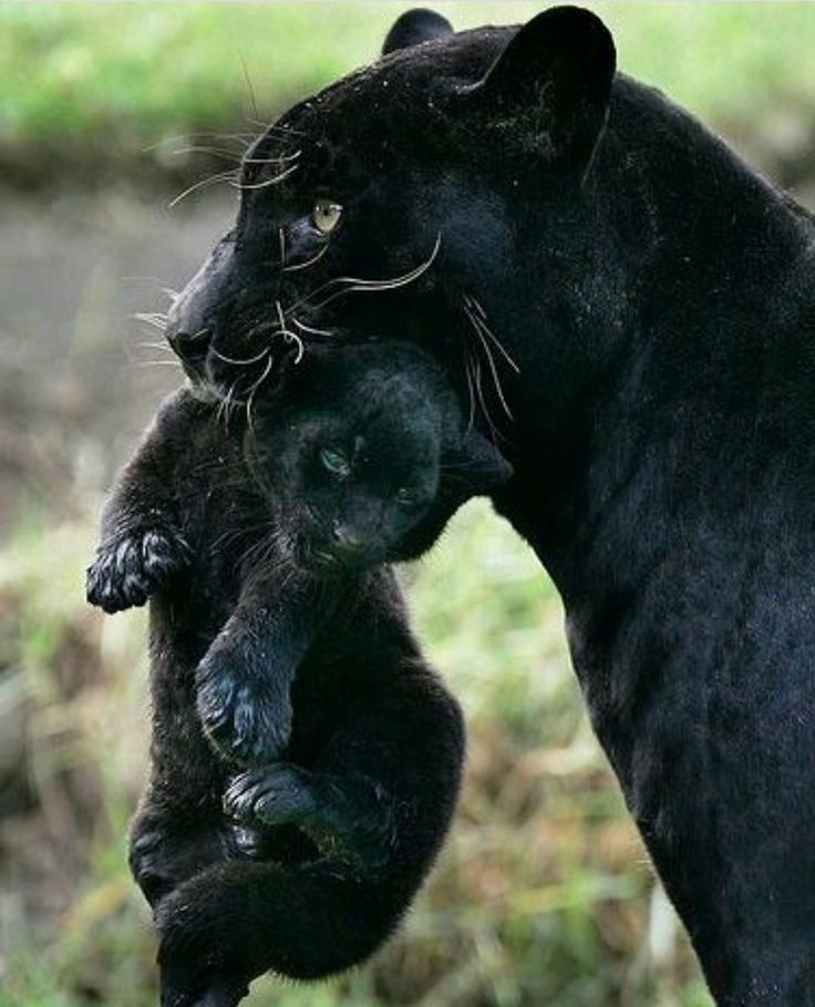 black panther with cub                                                                                                                                                                                 More