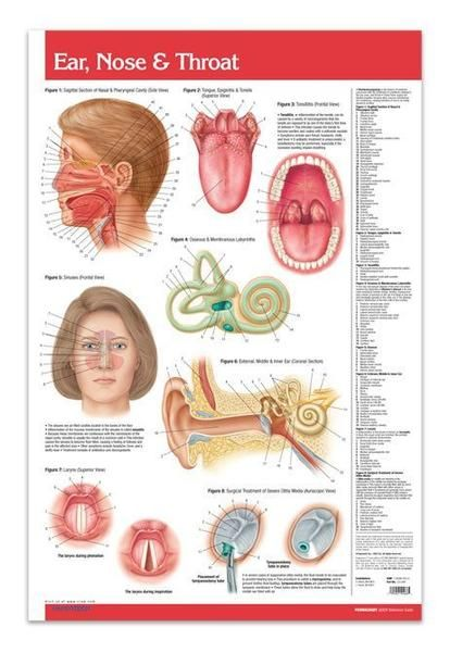 This Ear Nose Throat Poster is the ultimate reference in the study and understanding of the function of the human ear, nose, and throat.