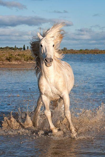 Camargue Horse...Bouches du Rhone, France