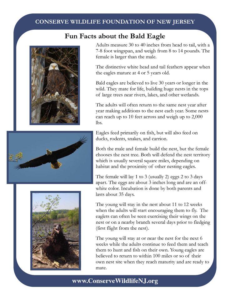Bald Eagle Facts And | bald eagle fun facts