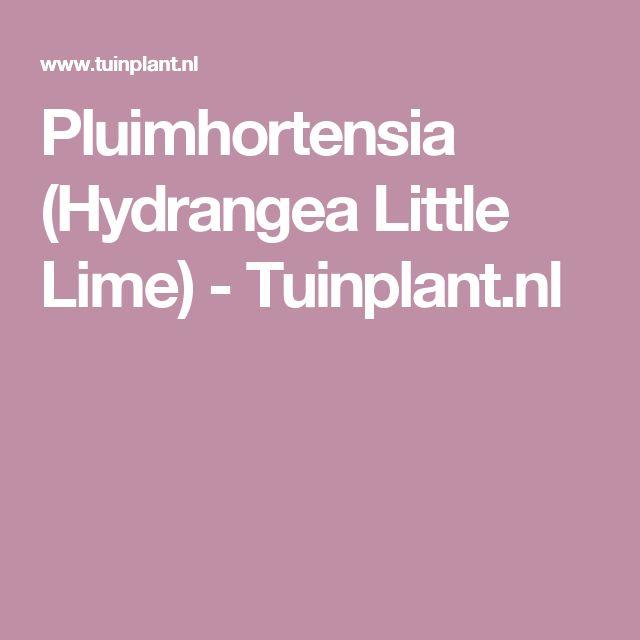 Pluimhortensia (Hydrangea Little Lime) - Tuinplant.nl