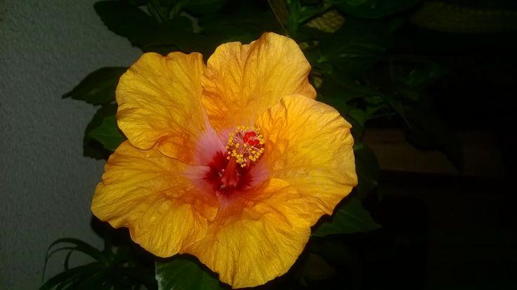Moja chińska róża