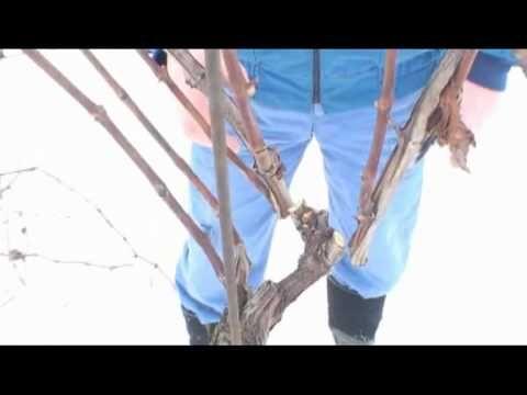 Ako strihať vinič - prvý rez - VIDEO Ako sa to robí.sk