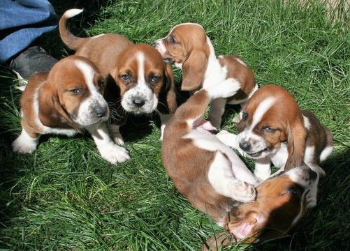Litter of 5 Basset Hound puppies for sale in LAKESIDE, CA. ADN-63624 on PuppyFinder.com Gender: Male(s) and Female(s). Age: 7 Weeks Old