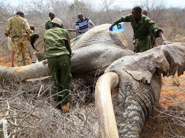 Desperate Elephants Shot With Poison Arrows Travel To Humans For Help - The Dodo