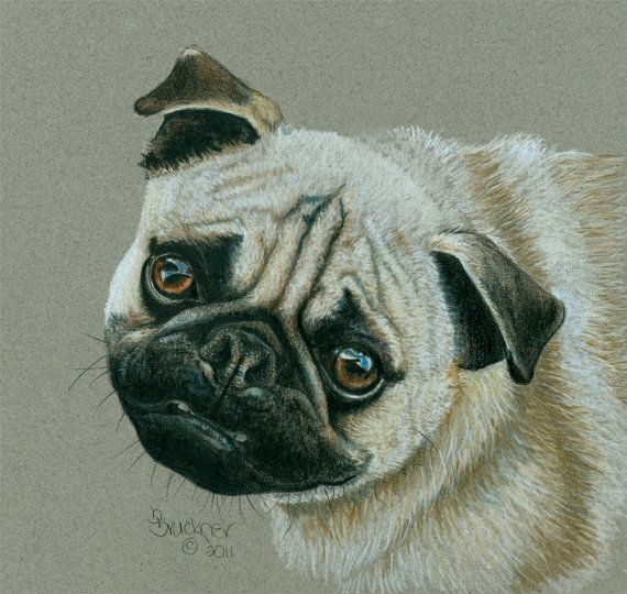 Colored Pencil Portrait of a Chinese Pug by B.Bruckner