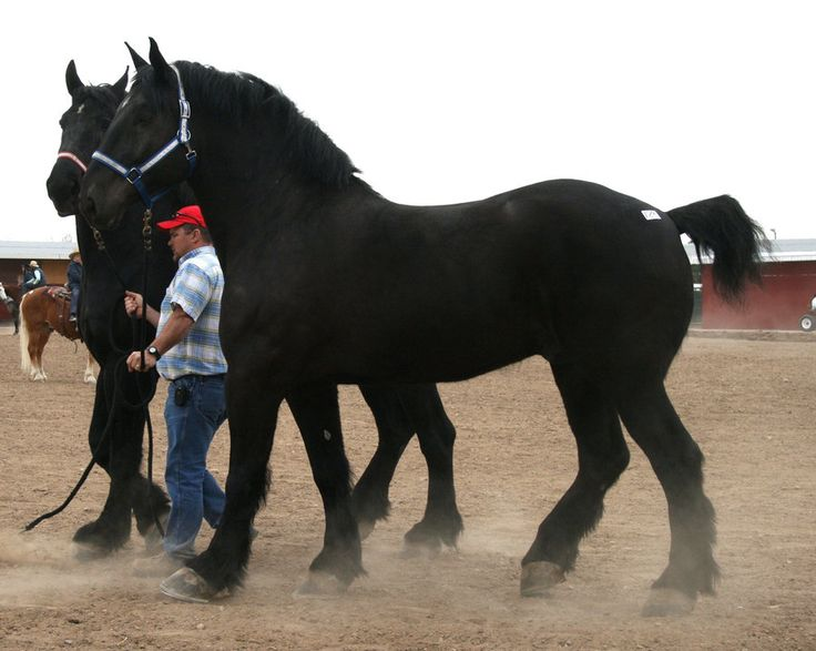 Percheron horses :) I've wanted one since I was a little girl visiting their stables at Disney!!!  I want to own a ranch in the north-west when hubby & I are older. Can't wait :)