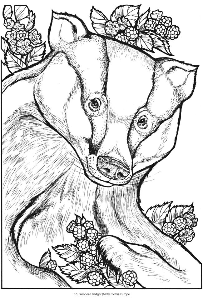printable badger coloring pages - photo#21