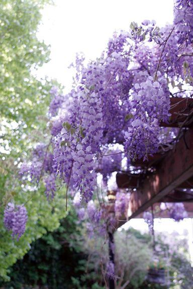 Im Frühjahr bietet die Glyzinie ein eindrucksvolles Schauspiel: ihre blauen traubenförmigen Blüten ergießen sich kaskadenartig über Hausfassaden und -wände.
