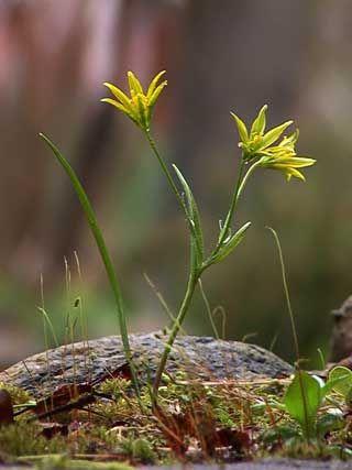Pikkukäenrieska, Gagea minima - Kukkakasvit - LuontoPortti