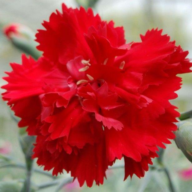 Dianthus plumarius Lady in Red - Oeillet mignardise