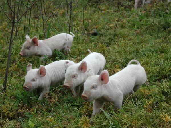 Best 25+ Baby piglets ideas on Pinterest | Cute pigs, Cute ...
