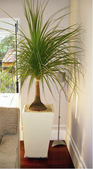119 best images about pata de elefante planta on pinterest - Pedestal para plantas ...