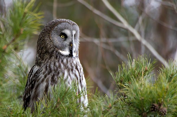 The Great Grey Owl (Strix nebulosa) in the pine tree watching for a vole.