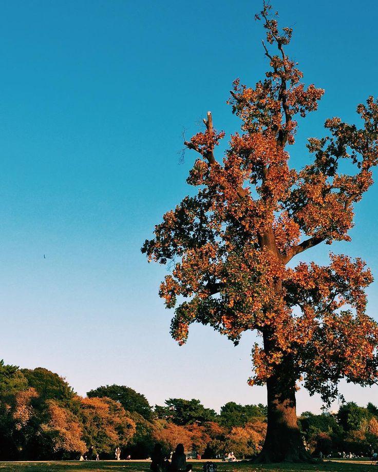 . 秋の公園での寛ぎ - Relaxation at autumn park . 今日も横浜は . でも風は強いです . 画像は新宿御苑の広場 . 芝生に腰掛け夕暮れが迫る秋の空を眺める方がたくさんいました .