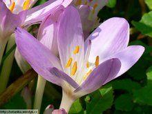 Herbář Wendys - Colchicum autumnale - ocún jesenní
