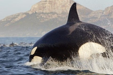 Orca by Chris Fallows