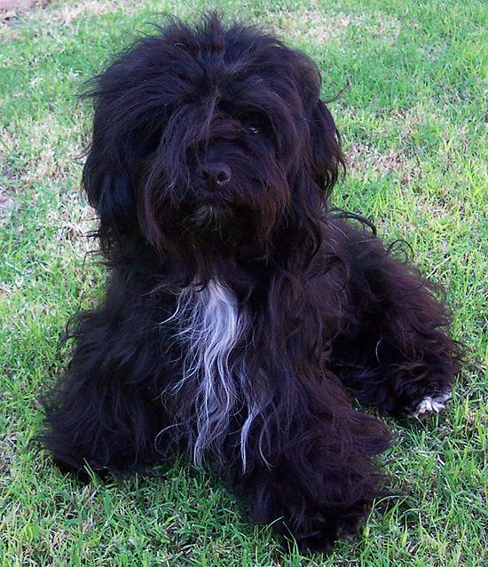Perfect scruffy Havanese...This is exactly what Barkley looks like in a natural coat..Awwww