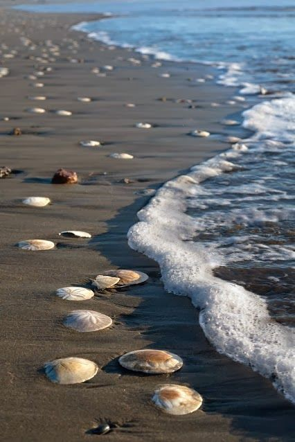 sand dollars on the beach...wishing I could take a walk on this beach (carefully) haha