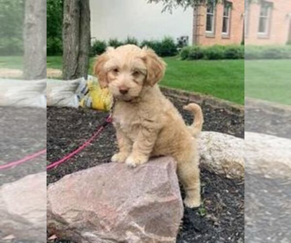 Goldendoodle Dog For Adoption In Westerville Ohio Usa Adn 207794 On Puppyfinder Com Gender Female Age Baby In 2020 Dog Adoption Dogs For Sale Puppies For Sale