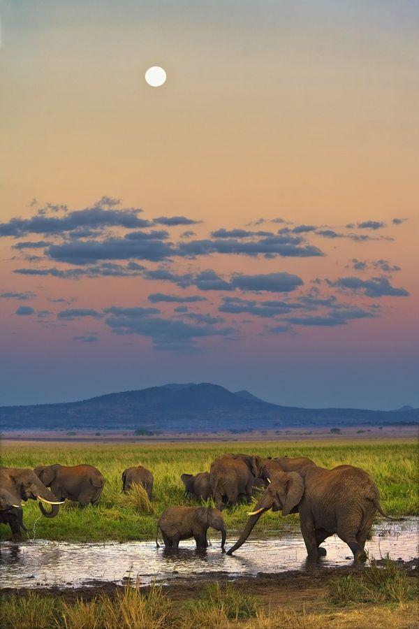 Des éléphants au crépuscule - décor Tanzanien par Mark Lissick  www.trueafrica.fr