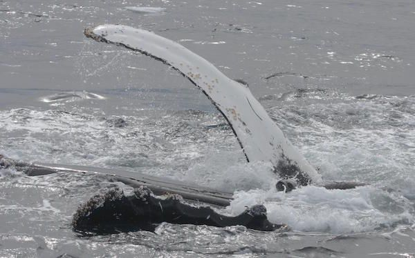 Les rorquals à bosse sauvent-ils d'autres espèces pourchassées par les épaulards? | Baleines en direct