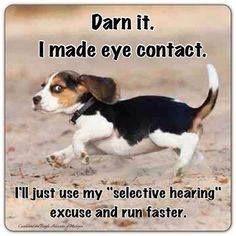 The essence of a sweet blackcap Beaglet !