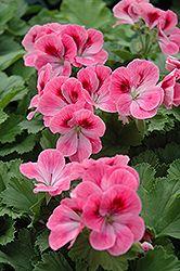 Maiden Rose Pink Geranium (Pelargonium 'Maiden Rose Pink') at Garden Supply Company